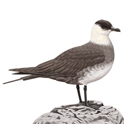 Arctic Skua Body Illustration