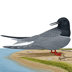 Black Tern Body Illustration