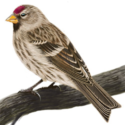 Common Redpoll Body Illustration
