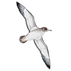 Cory's Shearwater Body Illustration
