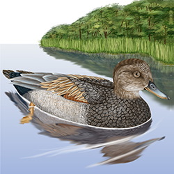 Gadwall Body Illustration