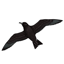 Leach's Petrel Body Illustration