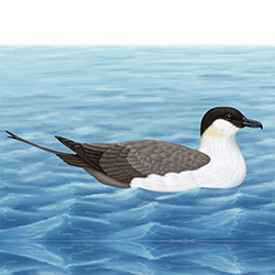 Long-tailed Skua Body Illustration