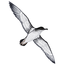 Manx Shearwater Body Illustration