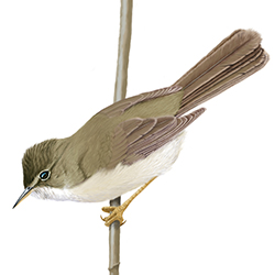 Marsh Warbler Body Illustration