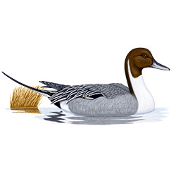 Pintail Body Illustration