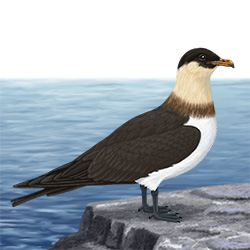 Pomarine Skua Body Illustration
