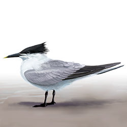 Sandwich Tern Body Illustration.jpg