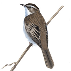 Sedge Warbler Body Illustration