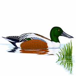 Shoveler Body Illustration
