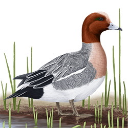 Wigeon Body Illustration