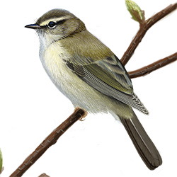 Willow Warbler Body Illustration