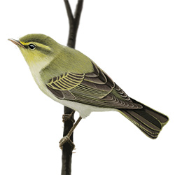 Wood Warbler Body Illustration