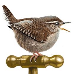 Wren Body Illustration