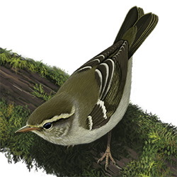 Yellow-browed Warbler Body Illustration