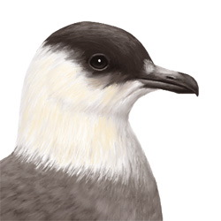 Arctic Skua Head Illustration