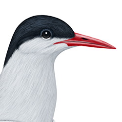 Arctic Tern Head Illustration