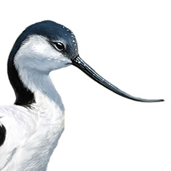 Avocet Head Illustration