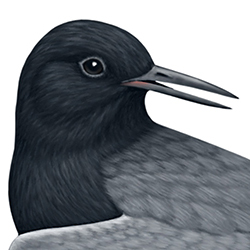 Black Tern Head Illustration
