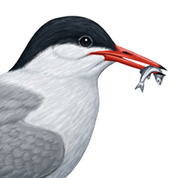 Common Tern Head Illustration