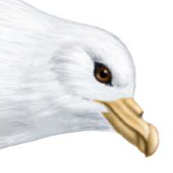 Fulmar Head Illustration