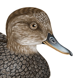 Gadwall Head Illustration