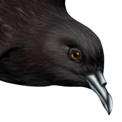 Leach's Petrel Head Illustration