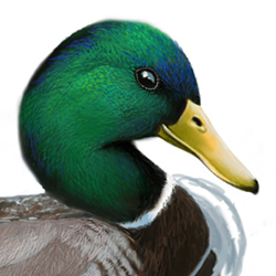 Mallard Head Illustration