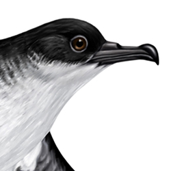 Manx Shearwater Head Illustration