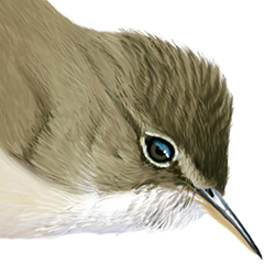 Marsh Warbler Head Illustration