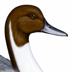 Pintail Head Illustration