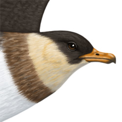 Pomarine Skua Head Illustration