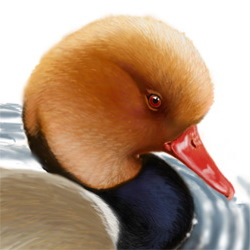 Red-crested Pochard Head Illustration