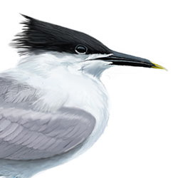 Sandwich Tern Head Illustration.jpg