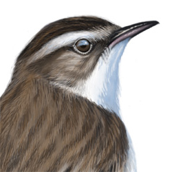 Sedge Warbler Head Illustration