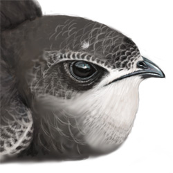 Swift Head Illustration