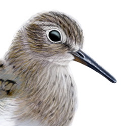 Temminck's Stint Head Illustration