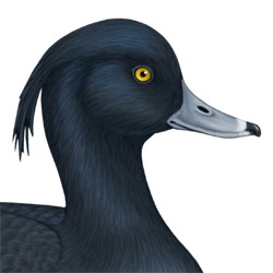 Tufted Duck Head Illustration