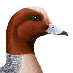Wigeon Head Illustration
