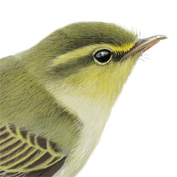 Wood Warbler Head Illustration