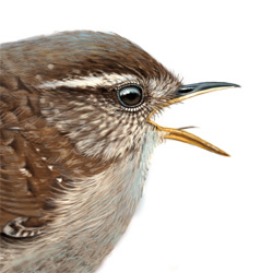 Wren Head Illustration