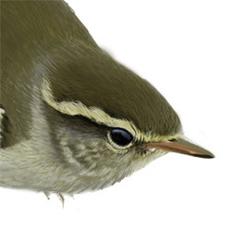 Yellow-browed Warbler Head Illustration