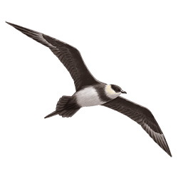 Arctic Skua Flight Illustration