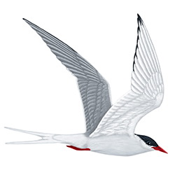 Arctic Tern Flight Illustration