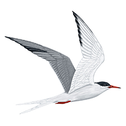 Common Tern Flight Illustration