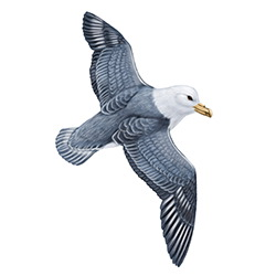 Fulmar Flight Illustration