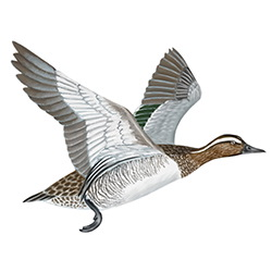 Garganey Flight Illustration