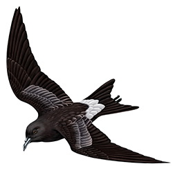 Leach's Petrel Flight Illustration