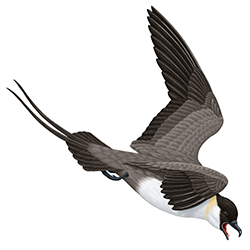 Long-tailed Skua Flight Illustration