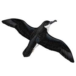 Manx Shearwater Flight Illustration
